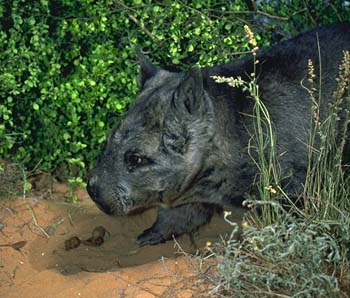 Northern hairy-nosed wombat.