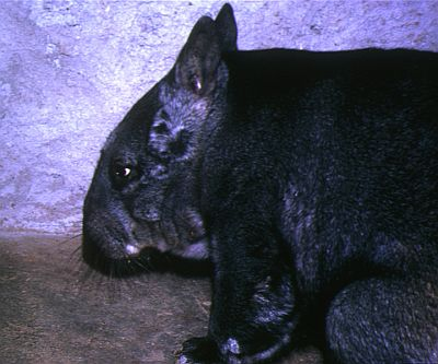 Wombat in captivity